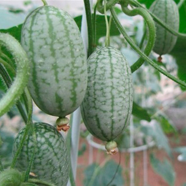 Thumb Watermelon Seeds