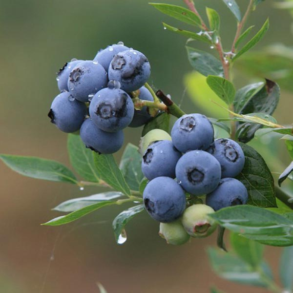 prezzo 30PCS Bonsai Blueberry Seeds Garden Fruit Plant in offerta