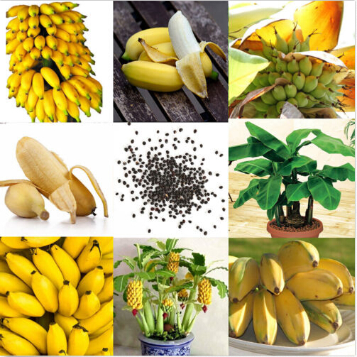 Egrow 30 Pcs Dwarf Banana Seeds Bonsai Tree Tropical Fruit Seeds Balcony Flower for Home Plants