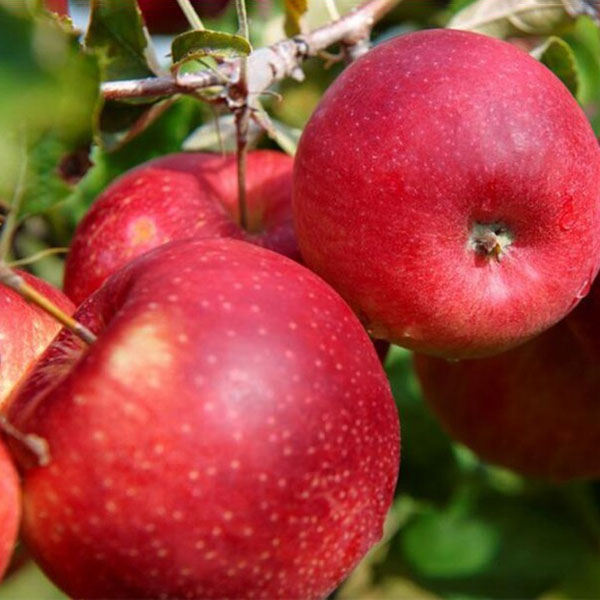 Egrow 50 Pca/Pack Red-Fleshed Apple Seeds Redlove Apple Fruit Tree Seed Garden Planting