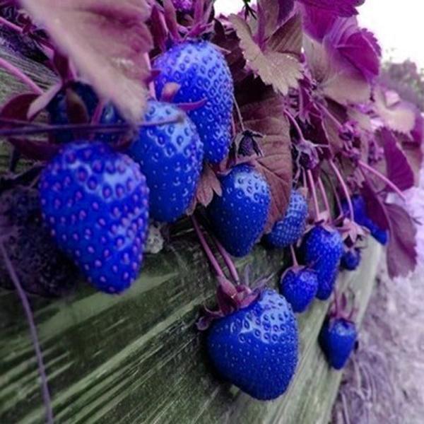 500pcs Blue Strawberry Rare Fruit Vegetable Seeds Bonsai