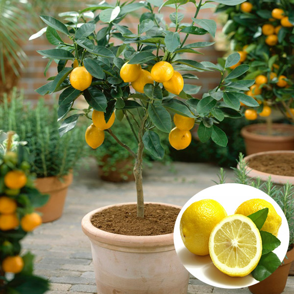 50pcs Garden Lemon Tree Citrus Limon Seeds Courtyard Heliophile DIY Potted Plant от Banggood INT
