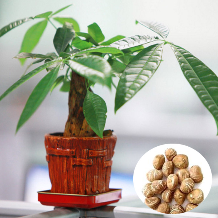 1pcs Pachira Macrocarpa Seeds Garden Office Money Tree Bonsai Potted Plant от Banggood INT