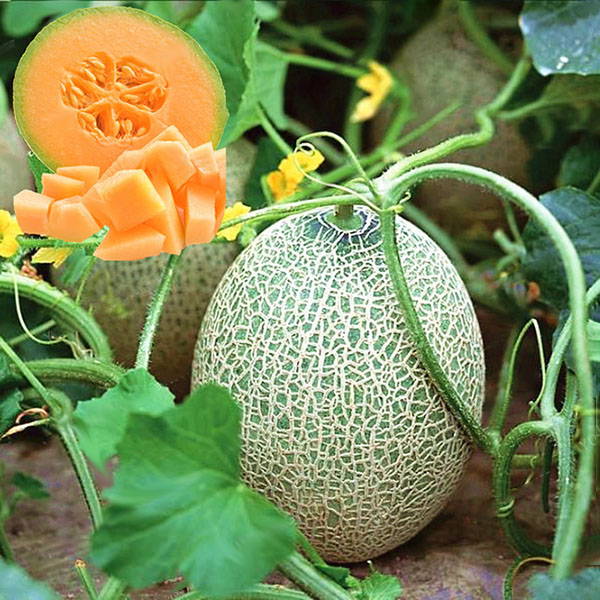 Egrow 50Pcs/Pack Cantaloupe Seeds Honey Yellow Flesh Sweet Melon Fruit Seed Summer Muskmelon Plants