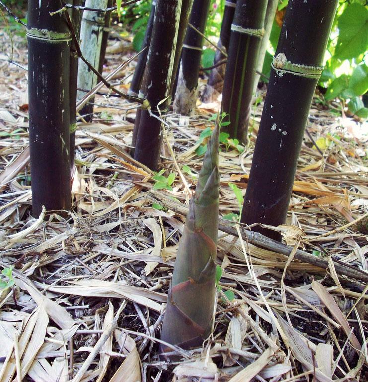 black bamboo seed