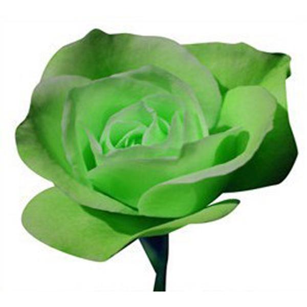prezzo 20 Green Rose Flower Rose6 Seeds in offerta