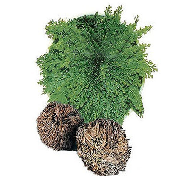 Resurrection Plants Hydrophile Jericho Rose Plant resurrection plants hydrophile jericho rose plant