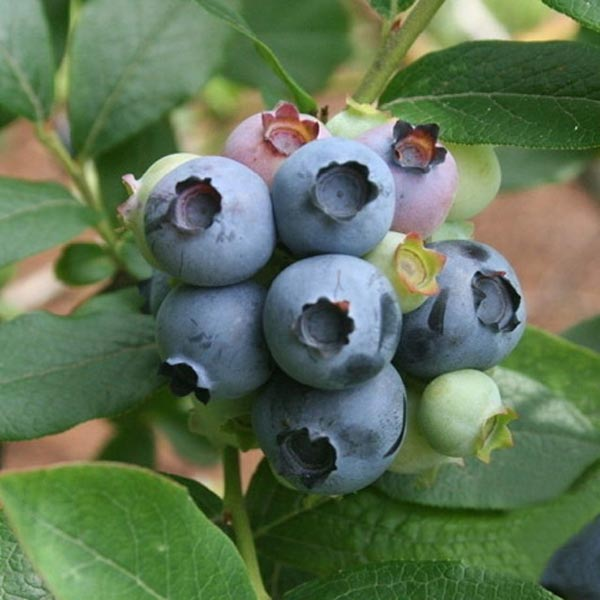 prezzo 5PCS Blueberry Fruit Bonsai Seeds DIY Garden Home Dec in offerta