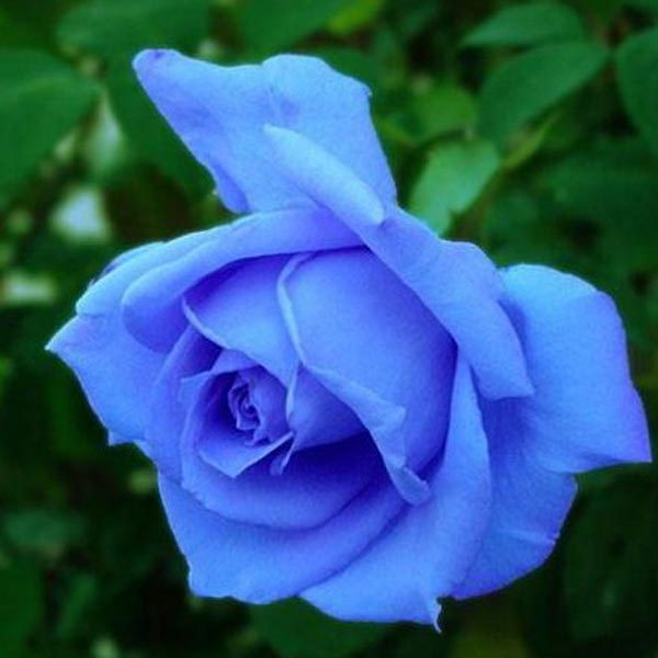 blue rose plants