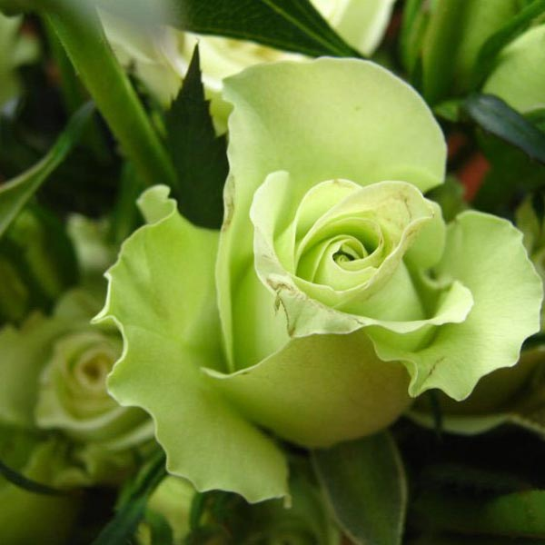 prezzo 50 Pcs Green Rose Seeds DIY Home Garden Dec in offerta