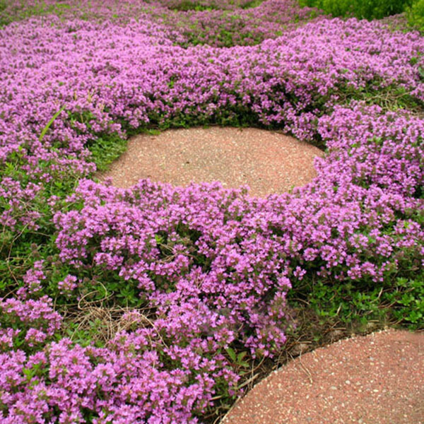 prezzo 40PCS Mongolian Thyme Seeds Indoor And Outdoor Bonsai Plant in offerta