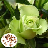 50pcs Green Rose Seeds DIY Home Garden Dec