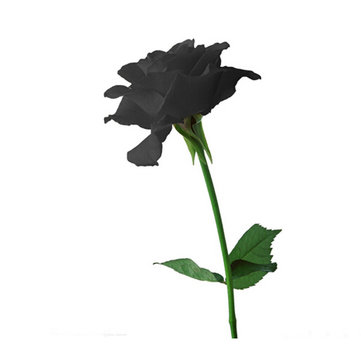 20 Black Rose Flower Rose2 Seeds