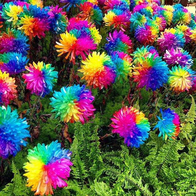 20pcs Rainbow Chrysanthemum Flower Seeds Rare Color Home