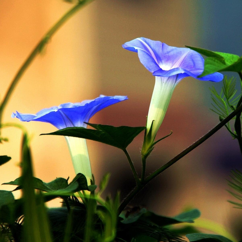 50Pcs Picotee Blue Morning Glory Seeds Rare Petunia Seeds Bonsai Flower Seeds