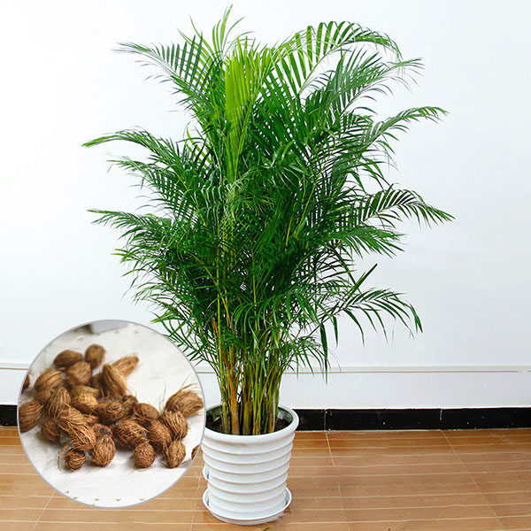 Image of Egrow 5 Pcs/Pack Potted Bamboo Seeds Home Decoration Areca Palm Bonsai Butterfly Palm Plants Bonsai