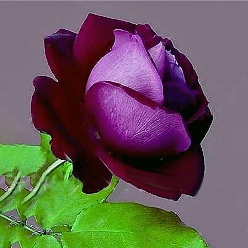 Egrow 100 Pcs Rose Bonsai Seeds Garden Potted Flower Seed Mixed Color Garden Planting