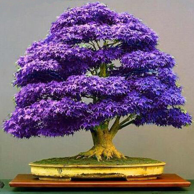 Egrow 30Pcs Purple Maple Seeds Rare