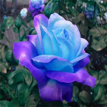 Egrow 100 Pcs Midnight Supreme Rose Seeds Potted Flower Seed Purple Rose Seeds for Home Planting