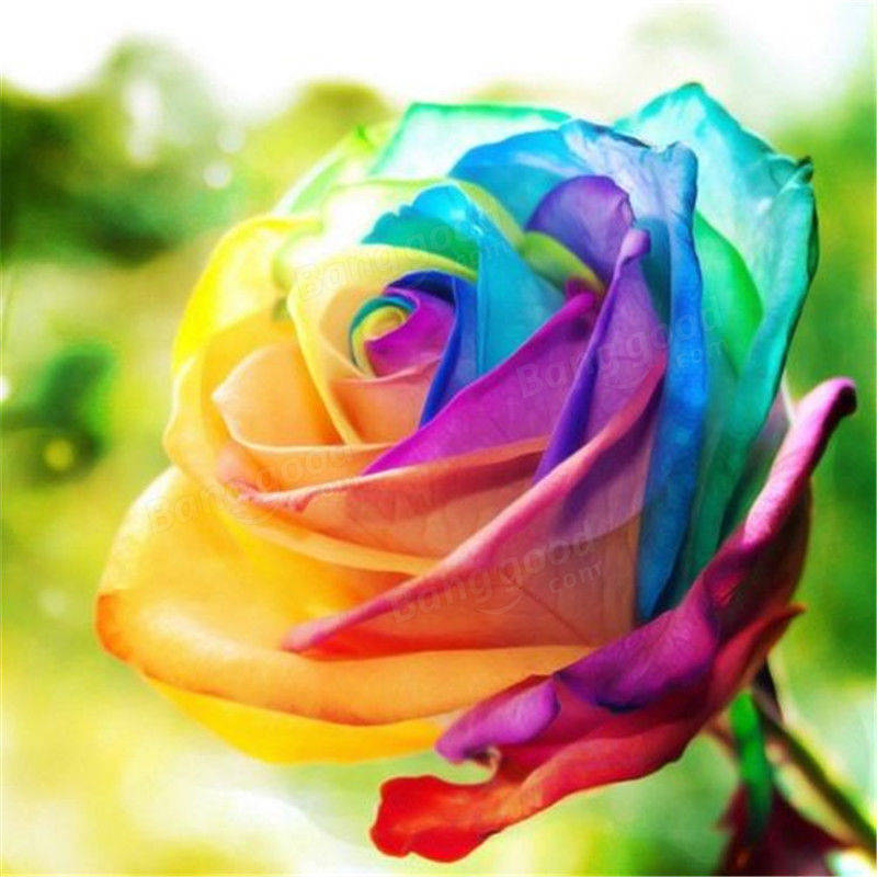 Egrow 200pcs rainbow rose seeds rare colorful flower for Where to buy rainbow roses
